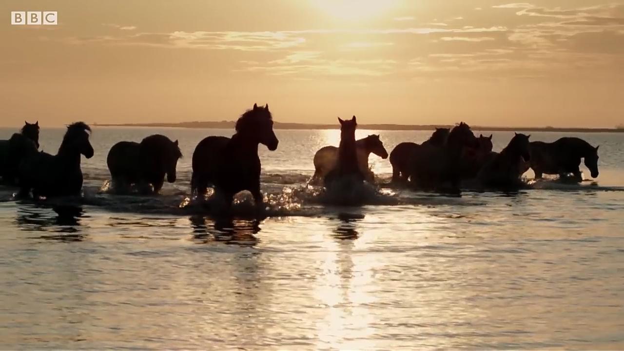 Camargue Wild Horses